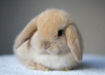 Ринит у кроликов